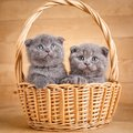 The gray color Scottish fold cats sits in a wicker basket. A playful kittens. Cat food promotion Royalty Free Stock Photo