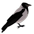 Gray crow isolated on а white background Royalty Free Stock Photo