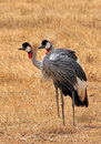 Gray crowned crane couple balearica regulorum in grass ngorongoro crater tanzania Stock Images