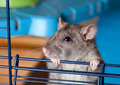Gray curious rat Stock Photos