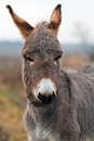 Gray donkey Stock Images