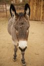 Gray donkey face with white nose a a standing straight into the camera Royalty Free Stock Image