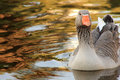 Gray duck swimming in lake a with orange beak the font view Stock Photos