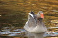 Gray duck swimming a with orange beak in the lake Royalty Free Stock Photography