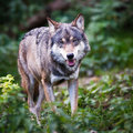 Gray/Eurasian wolf Royalty Free Stock Images