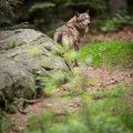 Gray/Eurasian wolf Royalty Free Stock Image