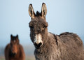 Gray fluffy donkey cute in rural ireland Royalty Free Stock Photography