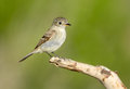 Gray flycatcher oregon us on a perch Royalty Free Stock Image