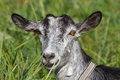 Gray goat Royalty Free Stock Images