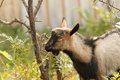 Gray goat eating bark in the farmyard the of a small shrub Royalty Free Stock Photos