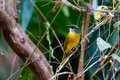 Gray headed tanager an uncommon sight in panama the with it s beautiful yellow body and head Stock Image