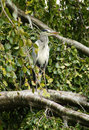 Gray Heron Royalty Free Stock Images