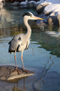 Gray Heron (Ardea Cinerea) Royalty Free Stock Image