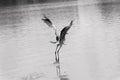 Gray heron in flight Royalty Free Stock Photo