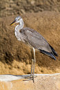 Gray heron in front of the rock Royalty Free Stock Photo