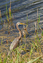Gray heron non breeding tricolored in florida Stock Images