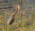 Gray heron non breeding tricolored in florida Stock Photography