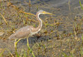 Gray heron non breeding tricolored in florida Royalty Free Stock Photo
