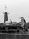 Gray herons Royalty Free Stock Image