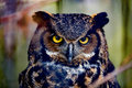 Gray horned owl Royalty Free Stock Photo
