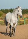 Gray horse dappled walking in paddock Stock Image