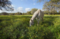 Gray horse on the meadow  Royalty Free Stock Photo