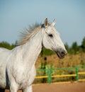 Gray horse runs closely up Royalty Free Stock Image