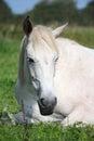 Gray horse sleeping at the pasture Royalty Free Stock Photo