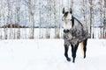 Gray horse on white snow Royalty Free Stock Photo