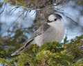 Gray jay a perched during winter at the mount hog s back in parc national de la gaspésie quebec canada Stock Images