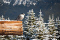Gray jay in winter perched on a wooden beam bald hills jasper national park canada Stock Photo