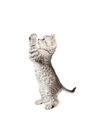 Gray kitten costs on legs isolated white background Royalty Free Stock Photos