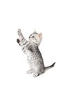 Gray kitten costs on legs isolated white background Stock Photos