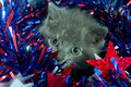 Gray kitten and Fourth of July decorations Stock Image