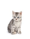 Gray kitten isolated on white background Royalty Free Stock Photo