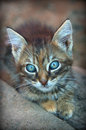 Gray kitten  kitten look   little kitty Royalty Free Stock Photo