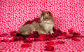 Gray kitten and rose petals Royalty Free Stock Image
