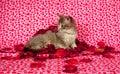 Gray kitten and rose petals Royalty Free Stock Image