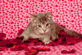 Gray kitten and rose petals Stock Photo