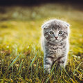 Gray kitten walking on green grass cat Stock Image
