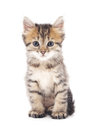 Gray kitten. Royalty Free Stock Photo