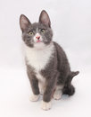 Gray kitten with white spots and yellow eyes standing excitedly Stock Photo
