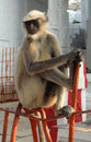 Gray langur Royalty Free Stock Image