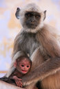 Gray langur with a baby sitting at the temple pushkar india rajasthan Royalty Free Stock Images