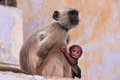 Gray langur with a baby sitting at the temple pushkar india rajasthan Royalty Free Stock Photo