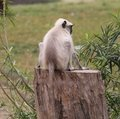 Gray langur monkey adult indian sitting on wooden log Stock Photo