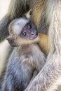 Gray Langur Monkey  Presbytis entellus near Rajastan India Royalty Free Stock Photo