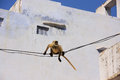Gray langur playing in the streets of pushkar india rajasthan Royalty Free Stock Photo