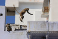 Gray langurs playing in the streets of pushkar india rajasthan Royalty Free Stock Images