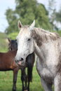 Gray latvian breed horse Royalty Free Stock Photo